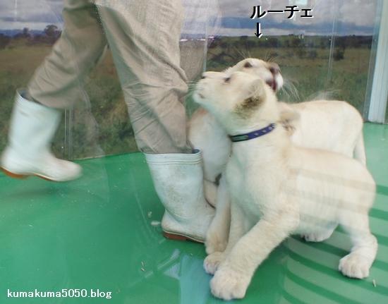 ホワイトライオンの赤ちゃん_3