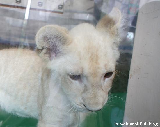 ホワイトライオンの赤ちゃん_2