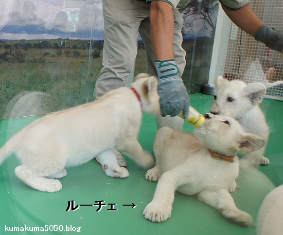 ホワイトライオンの赤ちゃん_9