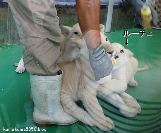 ホワイトライオンの赤ちゃん_7