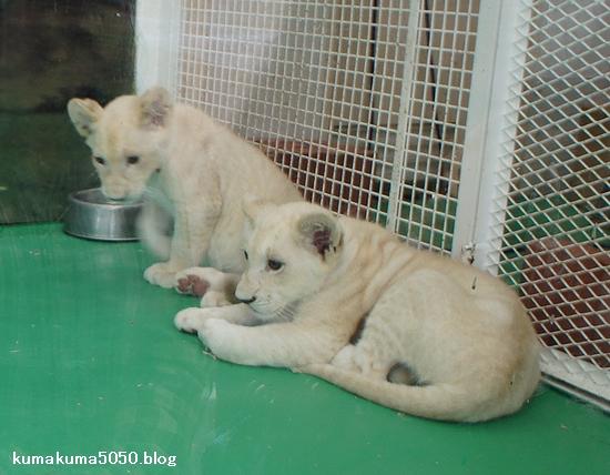 ホワイトライオンの赤ちゃん_15