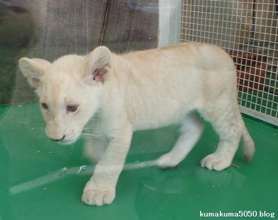 ホワイトライオンの赤ちゃん_21