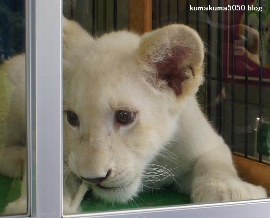 ホワイトライオンの赤ちゃん_34