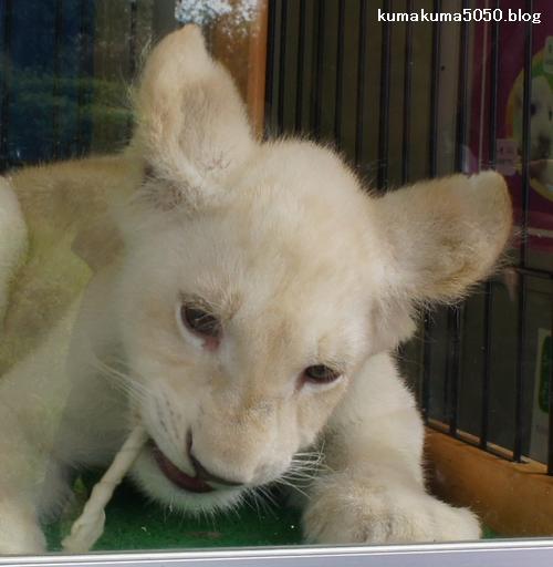 ホワイトライオンの赤ちゃん_35