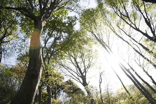 医王山若いブナ林