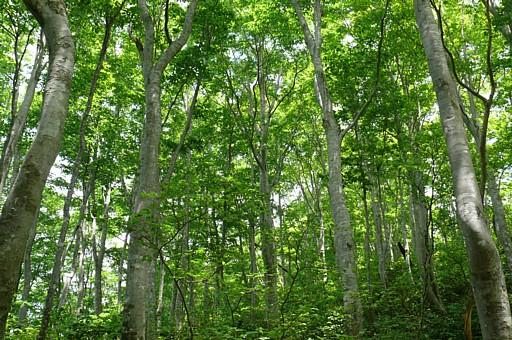 若いブナ林 花立