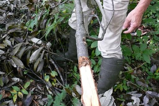 クマが折ったアベマキの枝
