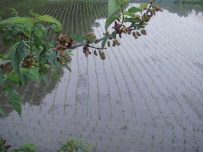 桑の実と田植え