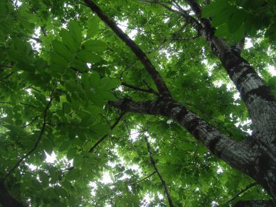 大きなクルミの木の下