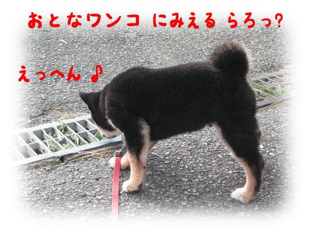 柴犬っぽい?