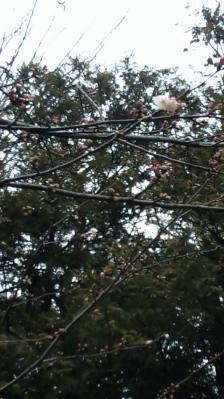 2010.02.27桜
