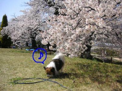 2009412sakura.jpg