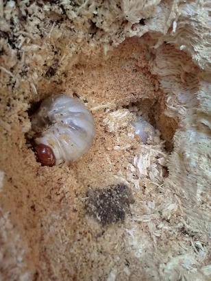 2頭の3令幼虫