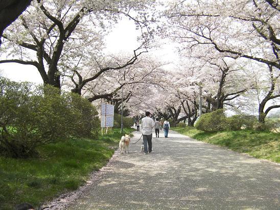 桜並木三人