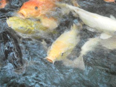 愛宕神社の鯉②
