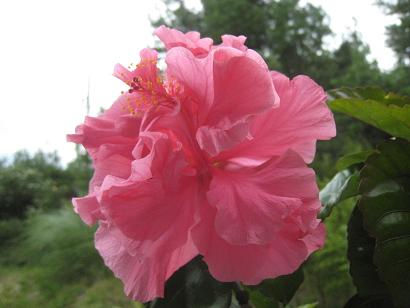 9/1 ハイビスカス・八重咲きピンク