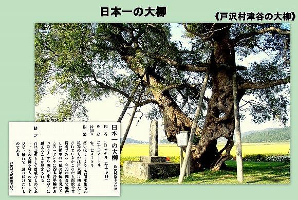 日本一の大柳