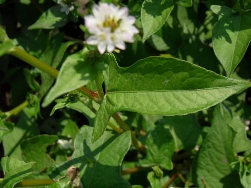 ミゾソバの葉