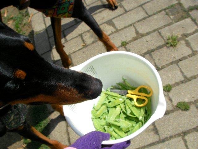 絹サヤと犬①
