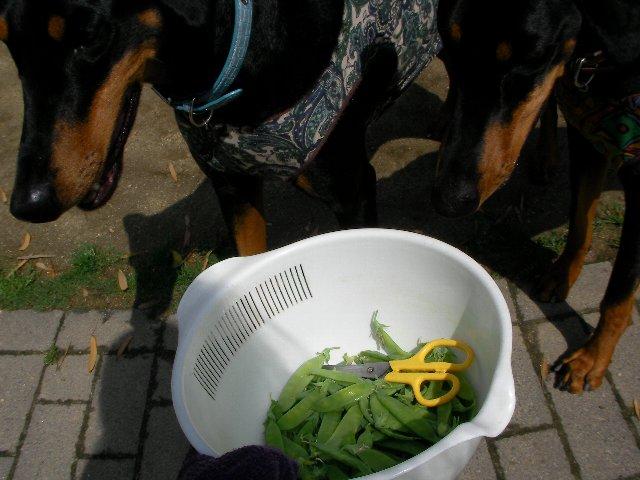 絹サヤと犬④
