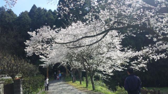 ひときわ美しい桜