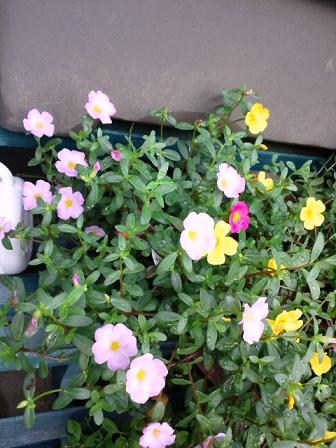 玄関の花9・15 002