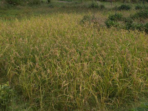 1加子母百年米2010収穫直前
