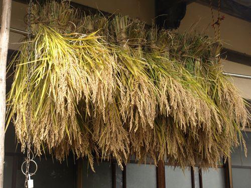 9加子母百年米三世収穫