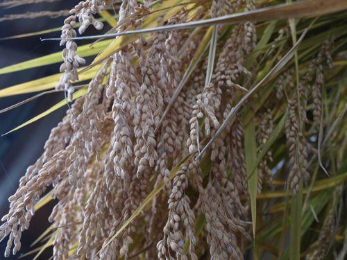 10加子母百年米たくさんの籾