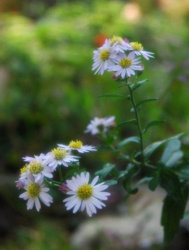 身近に咲く花 014