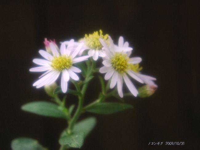 身近に咲く花 013