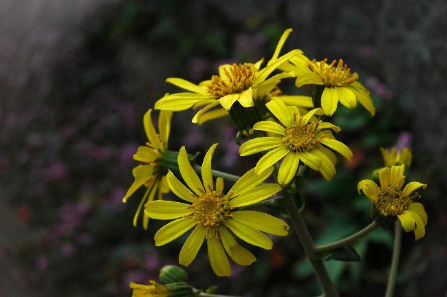身近に咲く花 071