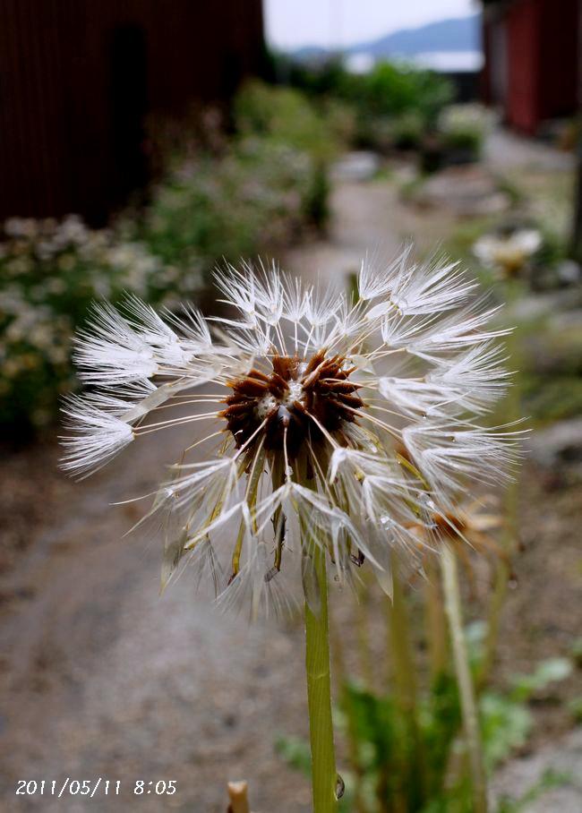 5,11S庭の花 032