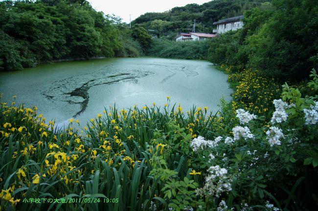 大池の1キショウブ