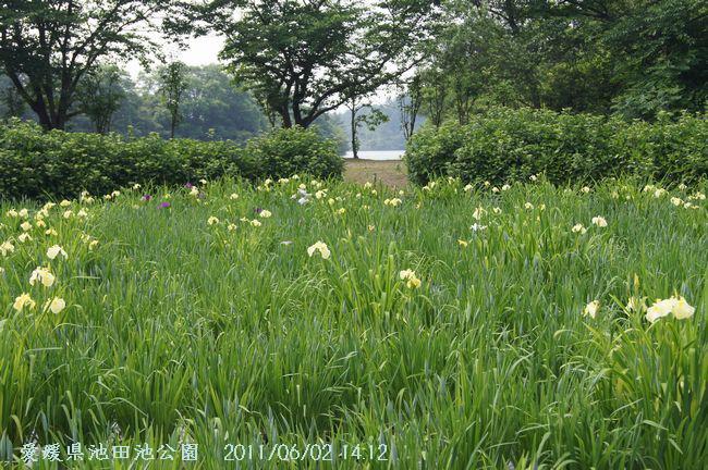 池田池の菖蒲園3-1