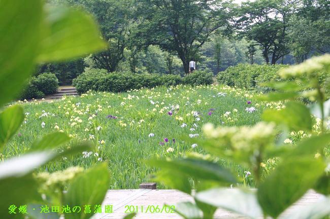 池田池の菖蒲園1