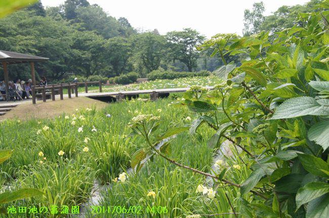 i池田池の菖蒲園