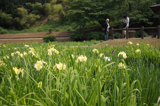 池田池の菖蒲10