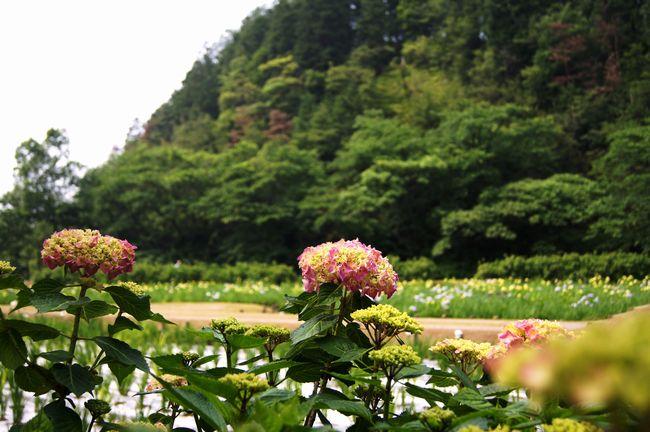 池田池の菖蒲園6
