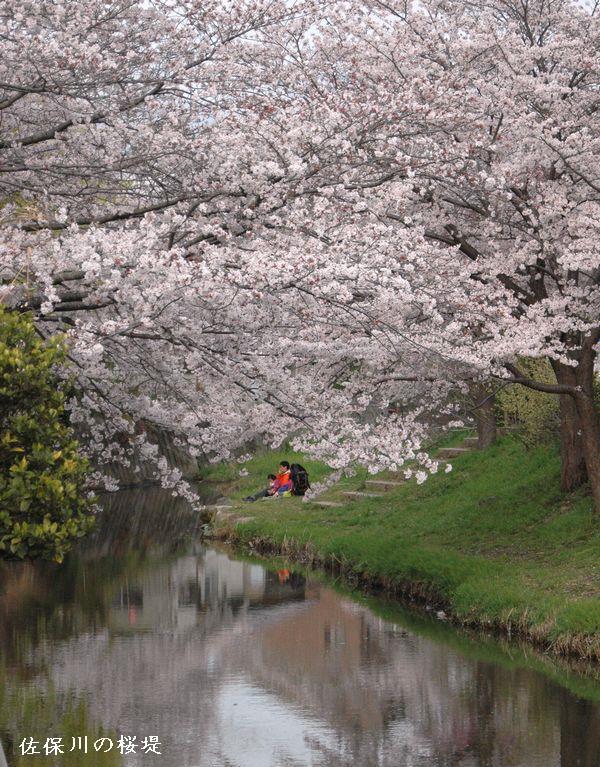 佐保川の桜12