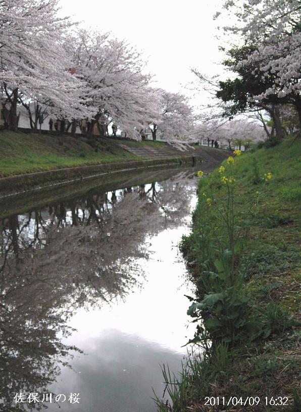 佐保川の桜6