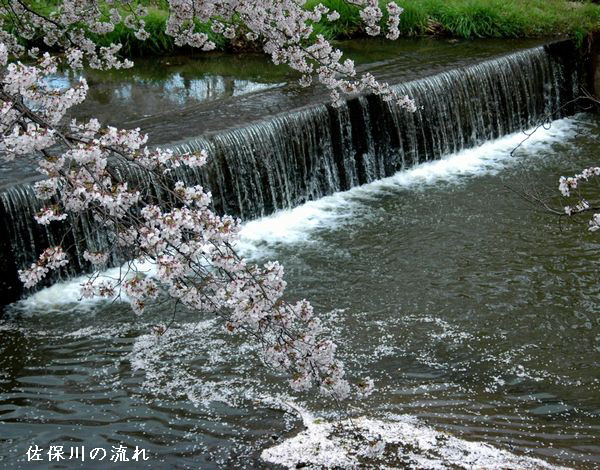佐保川の桜9