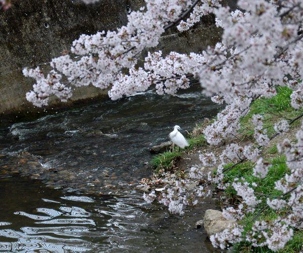佐保川の鷺1