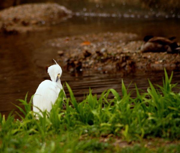 佐保川の鷺と鴨