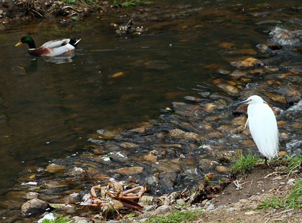 佐保川の鷺と鴨1