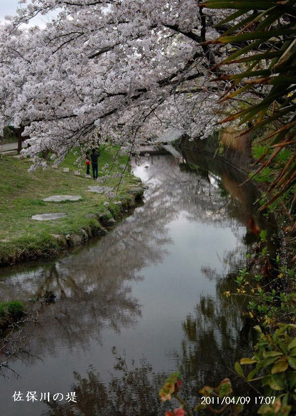 佐保川の桜10