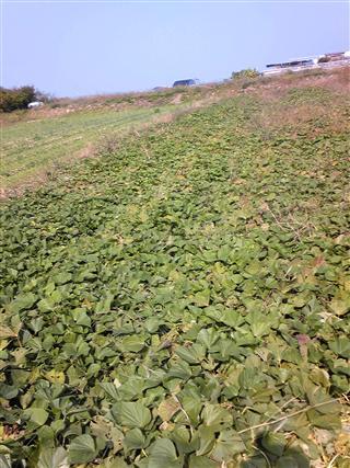 サツマイモ畑2009