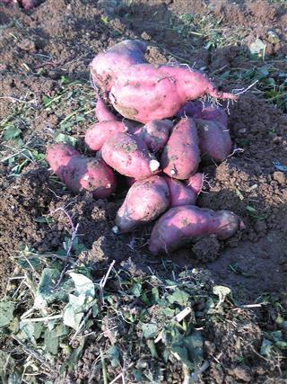サツマイモ乾燥