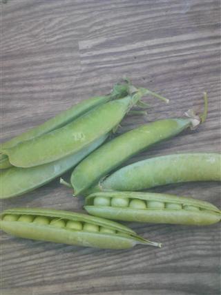エンドウ豆粒の数_R