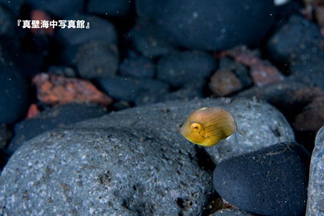 33-2★アオサハギ6-04